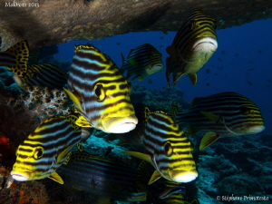 Oriental sweetlips. by St&#233;phane Primatesta 